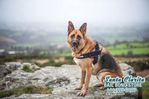 K9 Heroes in California: Super Dogs